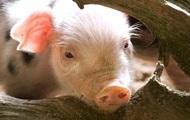 Россия может запретить импорт украинской свинины из-за чумы свиней