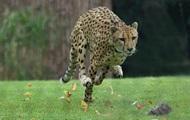 В США усыпили самое быстрое в мире животное