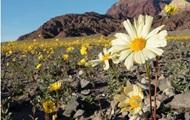 Долина Смерти зацвела впервые за 10 лет