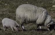 СМИ показали свинью, вообразившую себя овцой