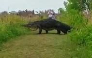 В США сняли на видео гигантского аллигатора