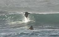 В Сети показали дельфина, пригнувшего на серфера