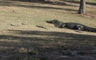 Самка аллигатора выгуляла детенышей на гольф-поле