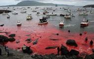 На Фарерских островах начался массовый забой китов