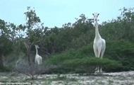 Редчайших белых жирафов сняли на видео