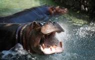 Схватка крокодила со стадом бегемотов попала на видео
