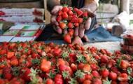 Украина за пять лет утроила экспорт ягод в ЕС