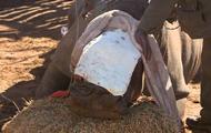 В Южной Африке раненому носорогу пересадили кожу слона